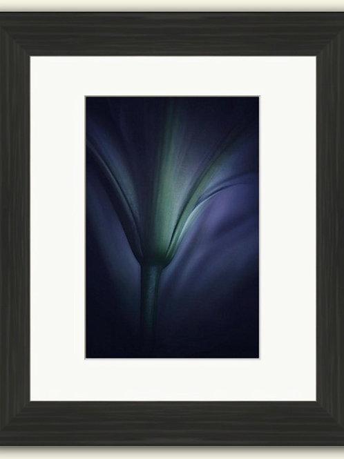 Velvet Lily Framed Print