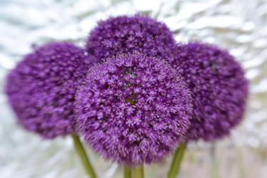 Allium Quartet