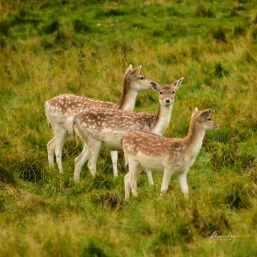 Look Over Here Deer