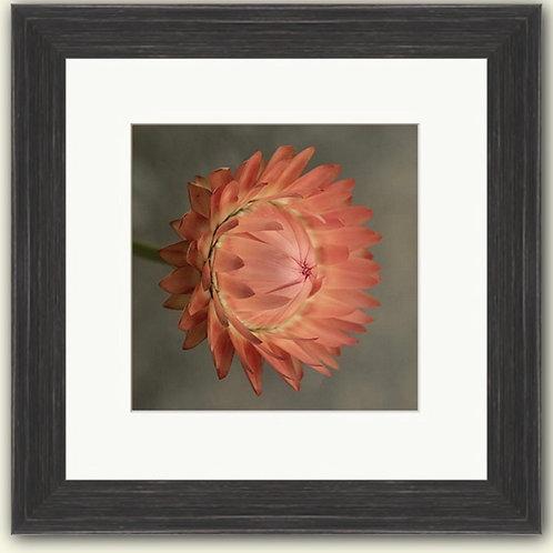 Close up Dahlia Framed Print