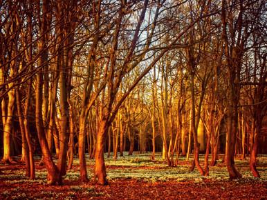 Attingham Snowdrops