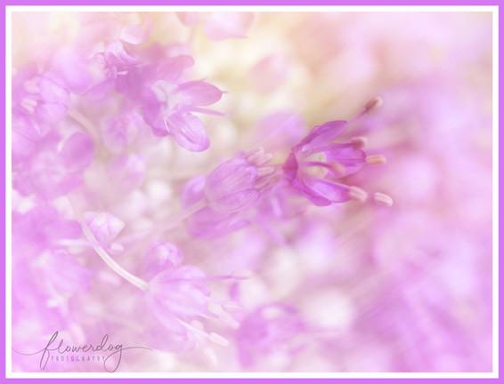 Dreamy Allium Close Up