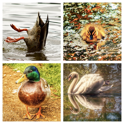 The Water Birds Collection - Greeting Cards
