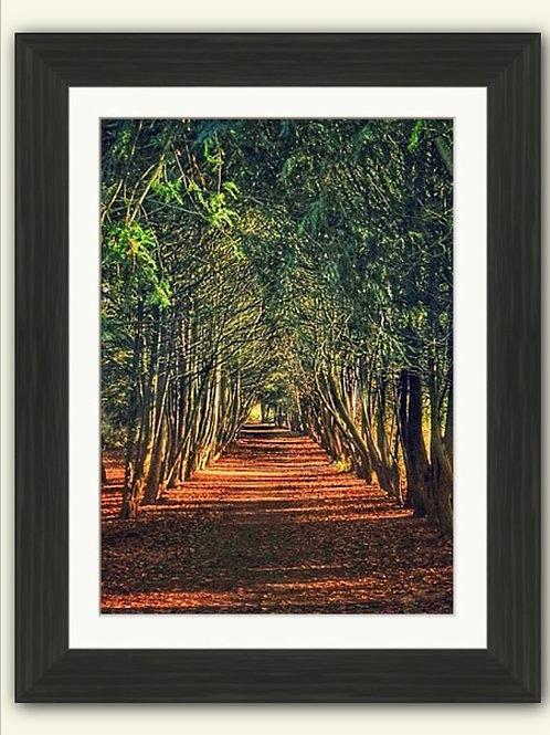 Yew Tree Arch - Apley Woods - Framed Print