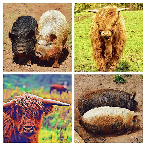 The Coos & Pigs Collection - Greeting Cards