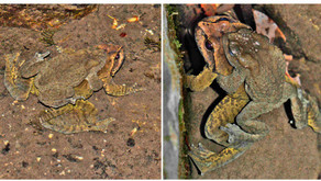 A frog is in amplexus with a toad. Wait, what!?