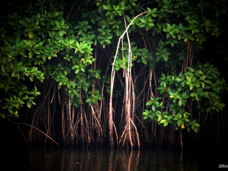 The life woven inside a Mangrove forest