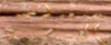termites en activité dans les bois
