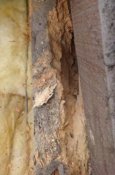 vieux bois devoré par capricornes