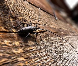 Capricorne et insectes devorent bois, de la charpente, traitement de bois necessaire,