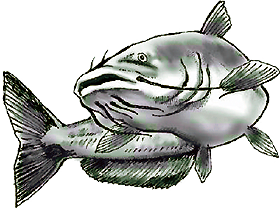 Catfish png