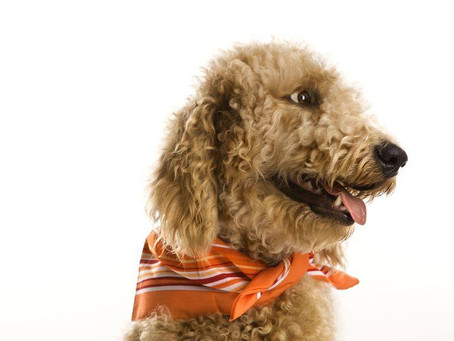 Amazing Goldendoodle facts