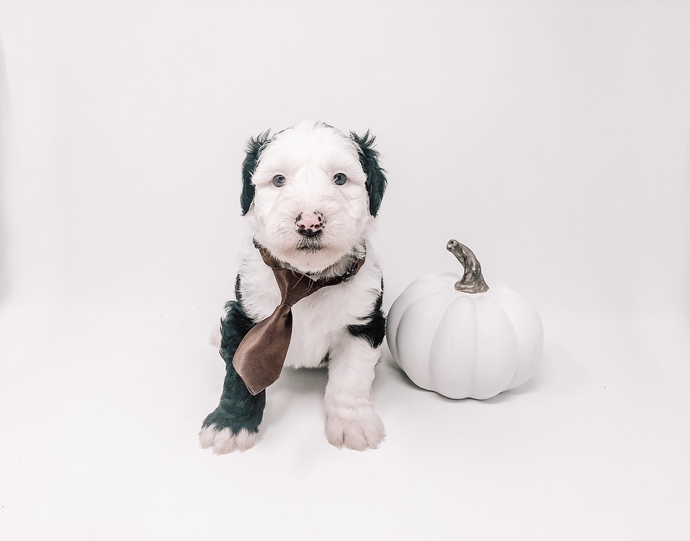Golden Valley Doodle Halloween Safety Tips for Dogs