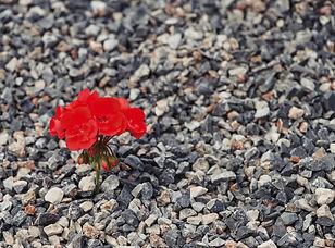 flower-in-rocks-smaller.jpg