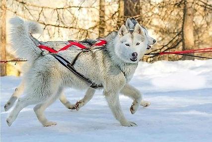 mushershop traineaux des loups blancs.jp