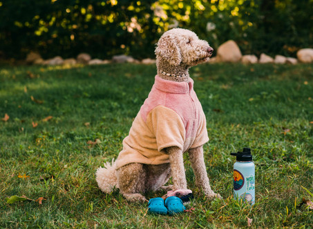 Goldendoodle Birthday: Maggie Turns Five!