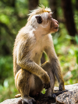 Monkey nipple