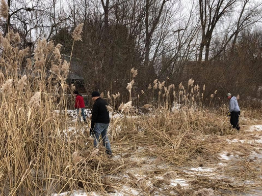 Phragmites find their way into Center Lakes