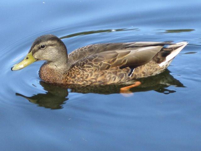 """Shola Adekeye, """"Elegant Duck"""""""