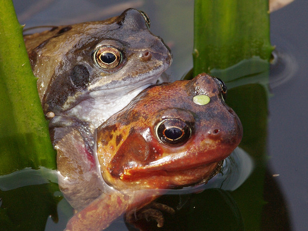'Mating common frogs' by Daniel McCaughan