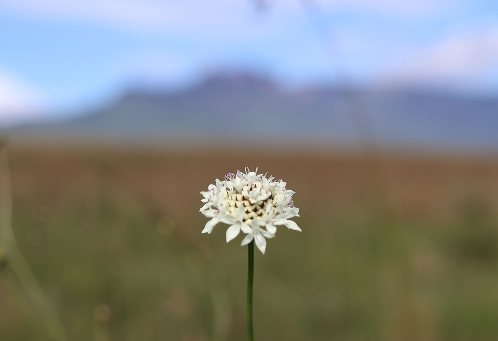 Beautiful mountain flower in nature - Scabiosa columbaria - Wild Scabious