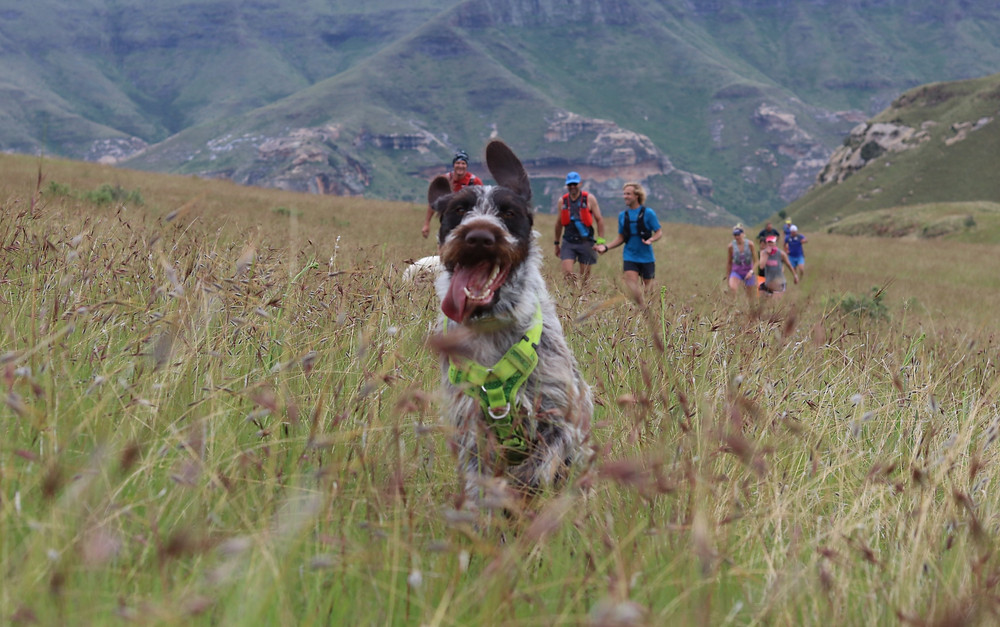German wire haired pointer running in the mountains.