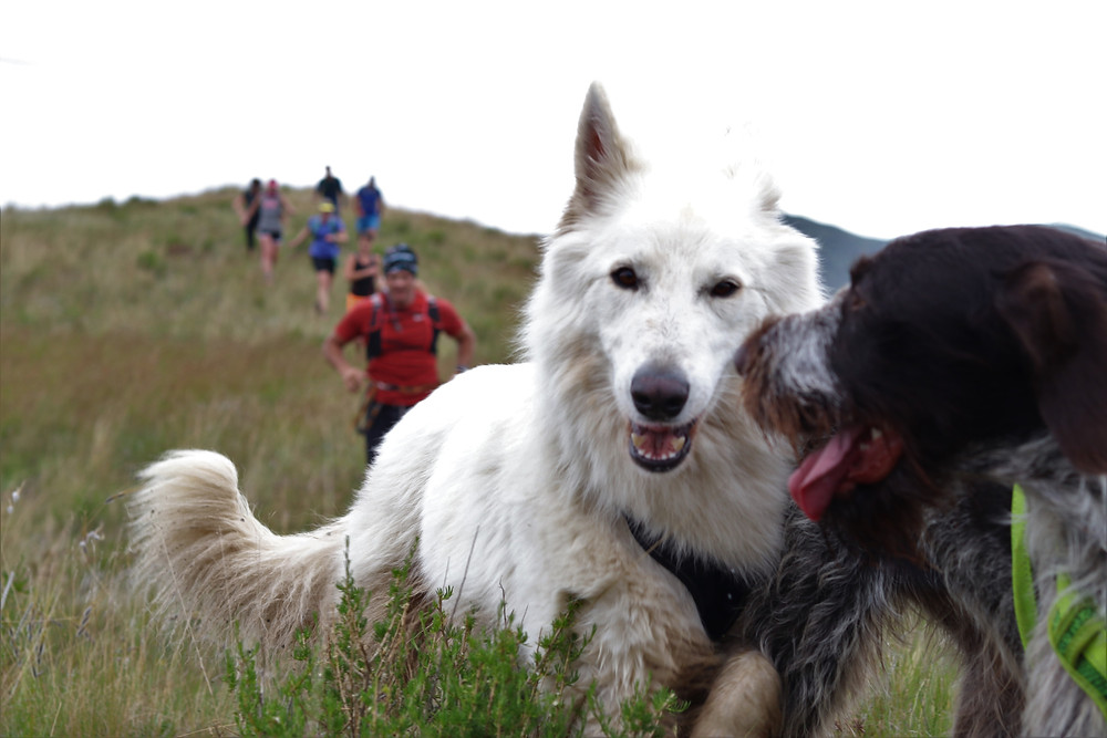 Two dogs running with people on trails in the mountains.