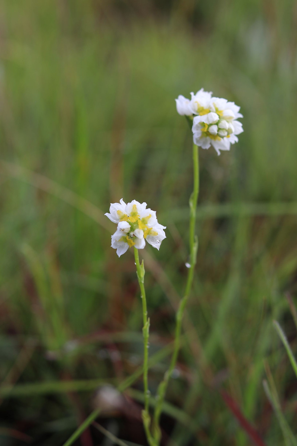 Shared happiness of two wild Drakensberg orchids - Schizochilus flexuosus