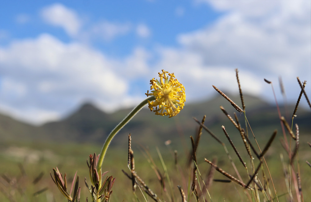 Wild flower of golden gate national park. Gnidia. Yellow flower. Indigenous..