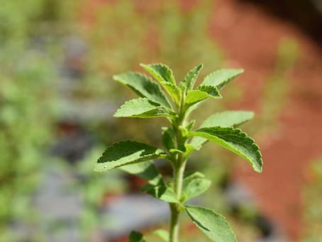 Efectos de la Stevia al Natural en Diabetes Tipo 2