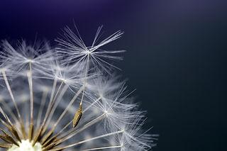 dandelion-4222684.jpg