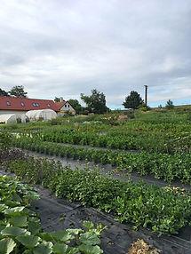 květinová farma v červnu, fóliovníky a záhony na českém venkově, ekologická farma