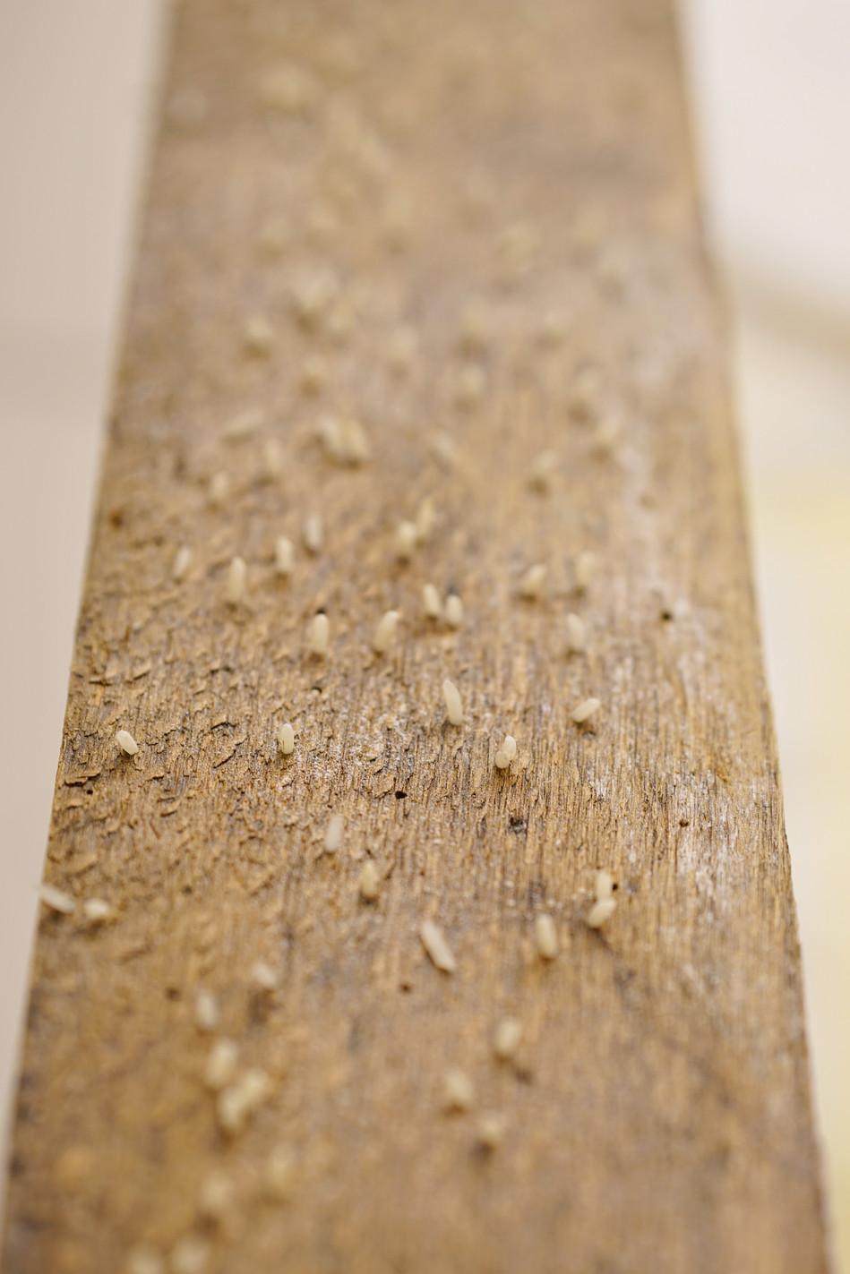 Reisbrett (rice board), 284 x 10 cm, wood, rice, 2014 (detail)