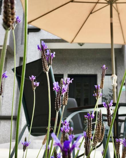 庭院前的羽葉薰衣草