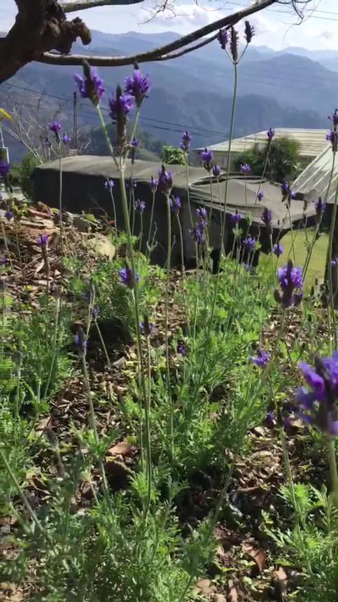 庭院前的薰衣草