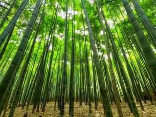 Bamboo Extract for Flu Season