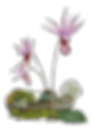 Calypso_Orchid_edited.png