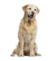 Canine Dog Massage Osteopathy Old Labrador