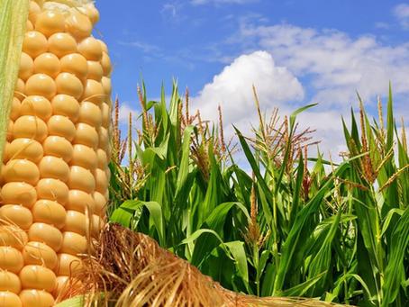 MILHO: safra de verão não deve trazer conforto ao mercado
