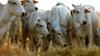 Boi gordo: maior oferta de animais não deve baixar preços da arroba, diz analista