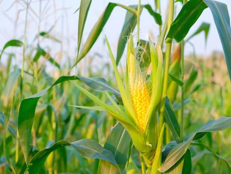 Falta de chuvas em Mato Grosso reduz estimativa de produtividade do milho