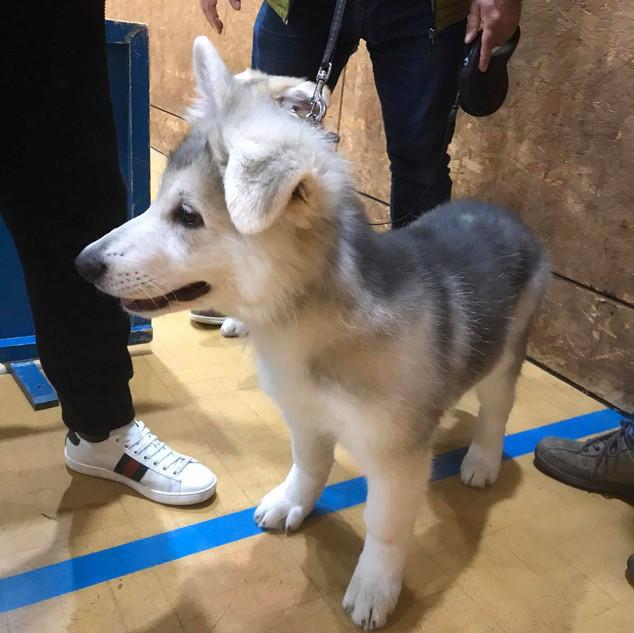 Zeus a German Shepherd
