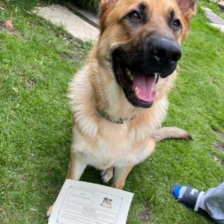 Kobi a German Shepherd