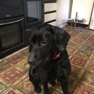 Flash a Springer/Labrador Cross