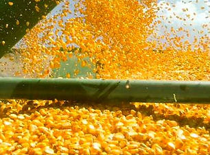 corn_kernels_spilling_into_truck_close_u