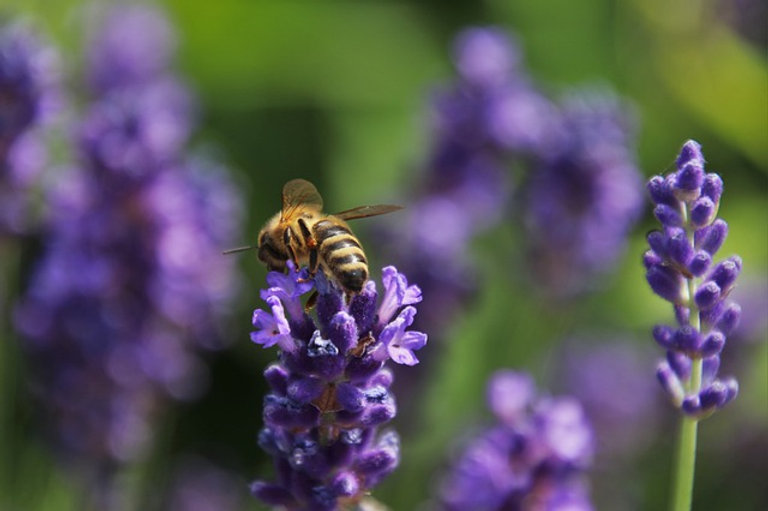 Bee on lavender in british flower farm