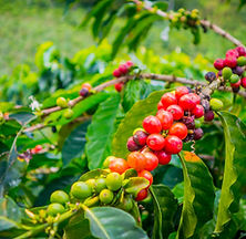 Coffee berries in farm and plantations i