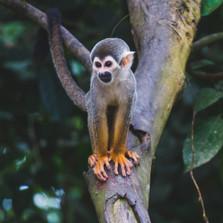 monkey amazon colombia.jpg