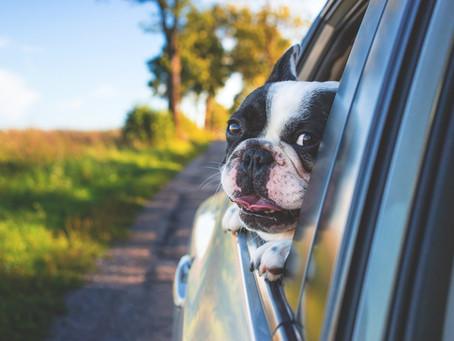 ¿Cómo debe ir un perro en el coche?