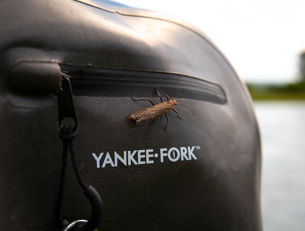 Yankee Fork Salmonfly Pteronarcys